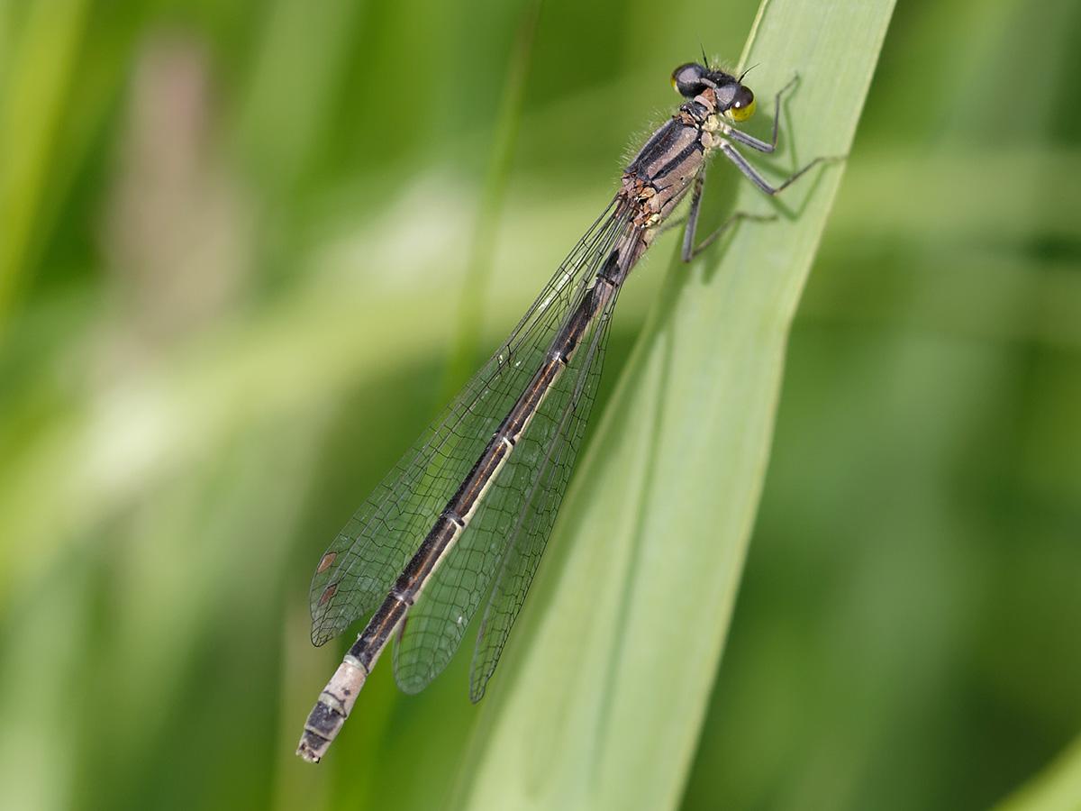 Coenagrion armatum, female
