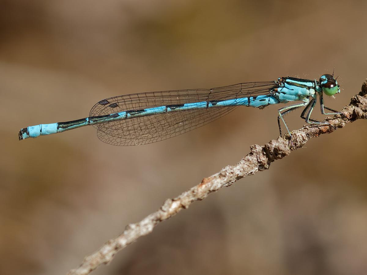 Coenagrion hastulatum, male