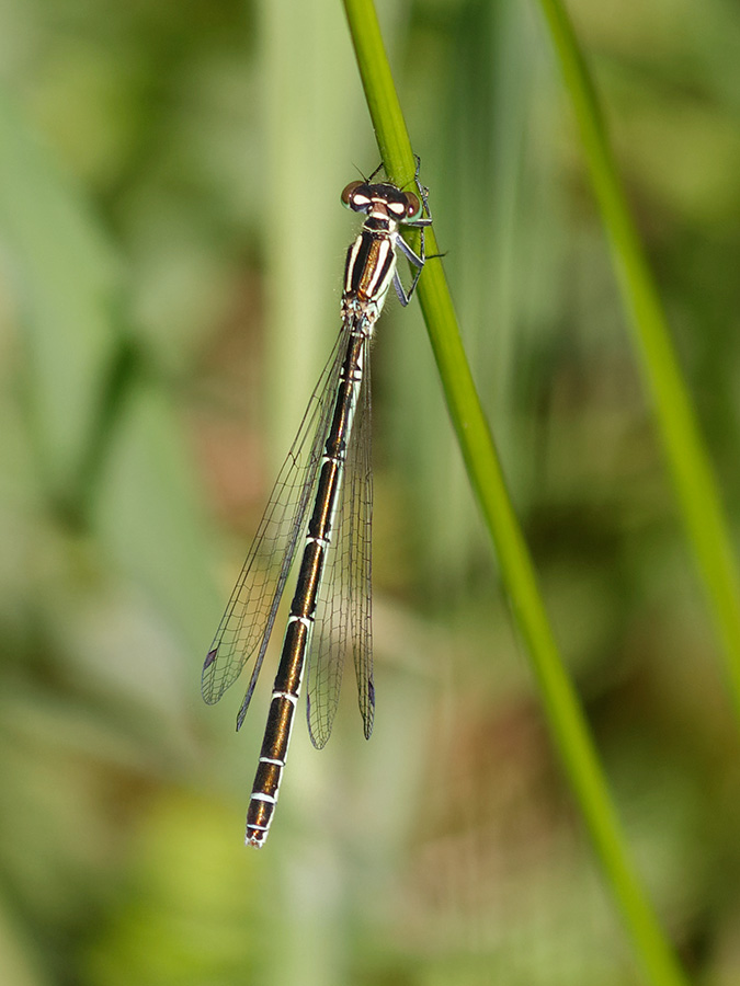 Coenagrion hastulatum, female