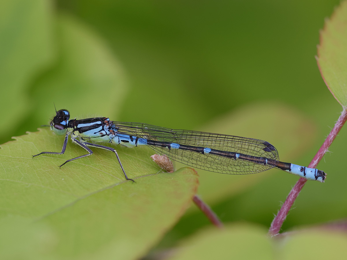 Coenagrion lunulatum, male