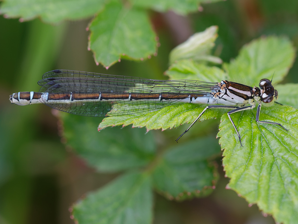 Coenagrion lunulatum, female