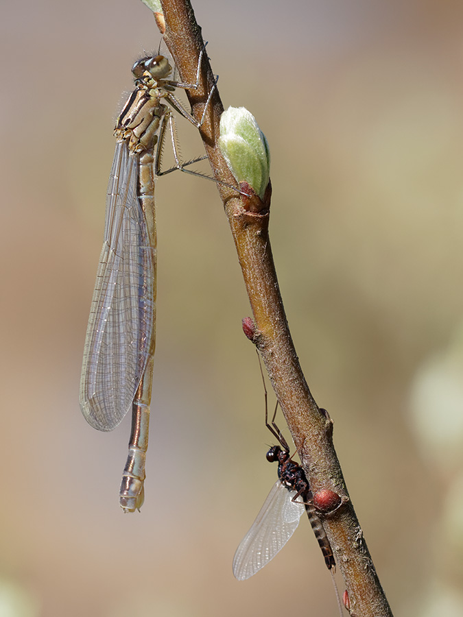 Coenagrion lunulatum, immature female