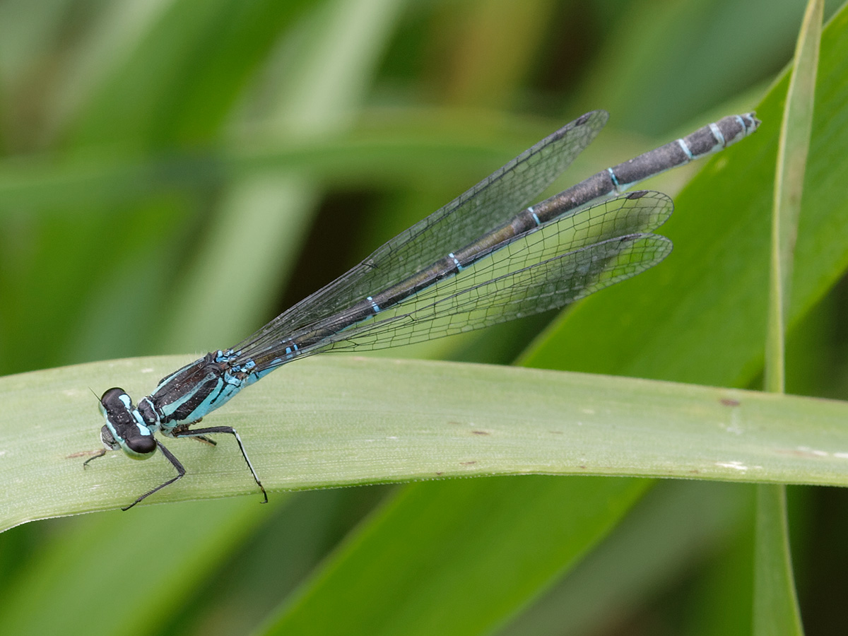 Coenagrion mercuriale, female