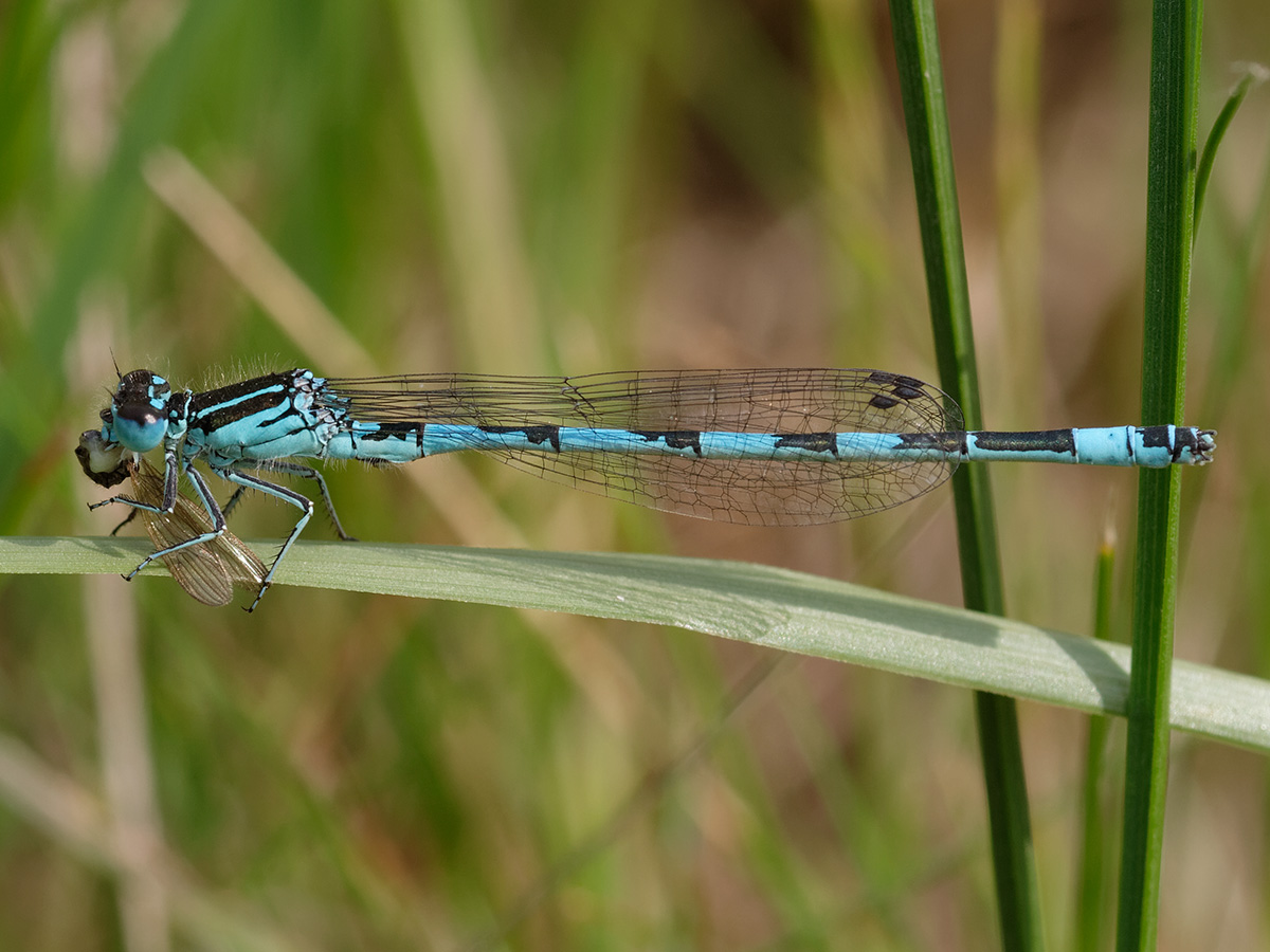 Coenagrion mercuriale, male