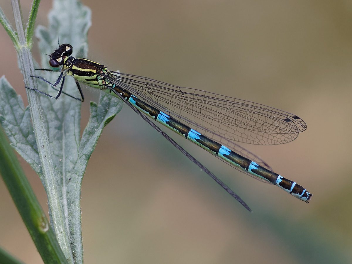 Coenagrion ornatum, female