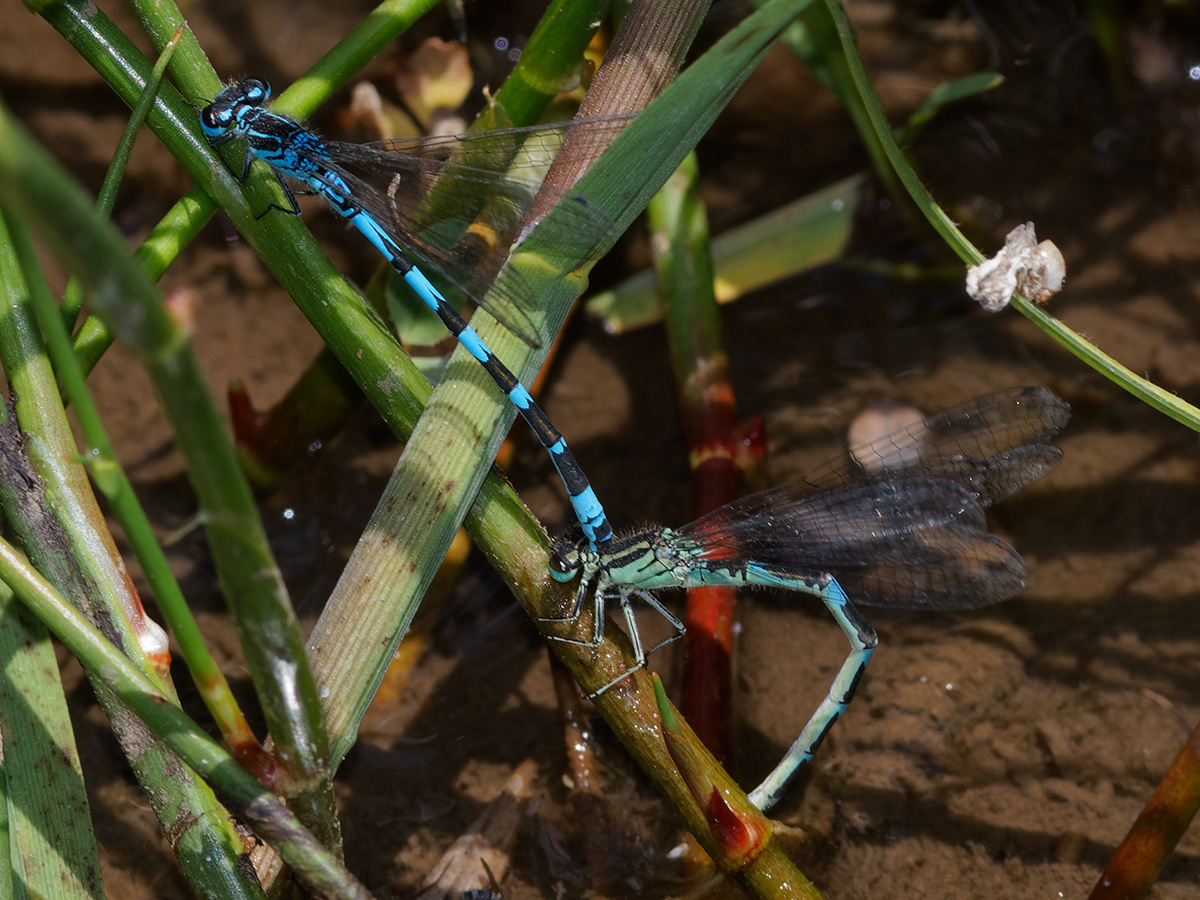 Coenagrion ornatum, ovipositing