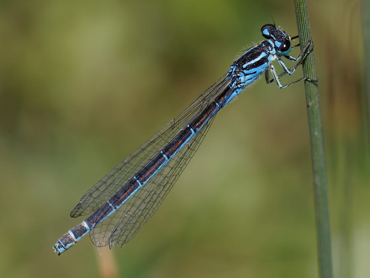Coenagrion ornatum, female dark type