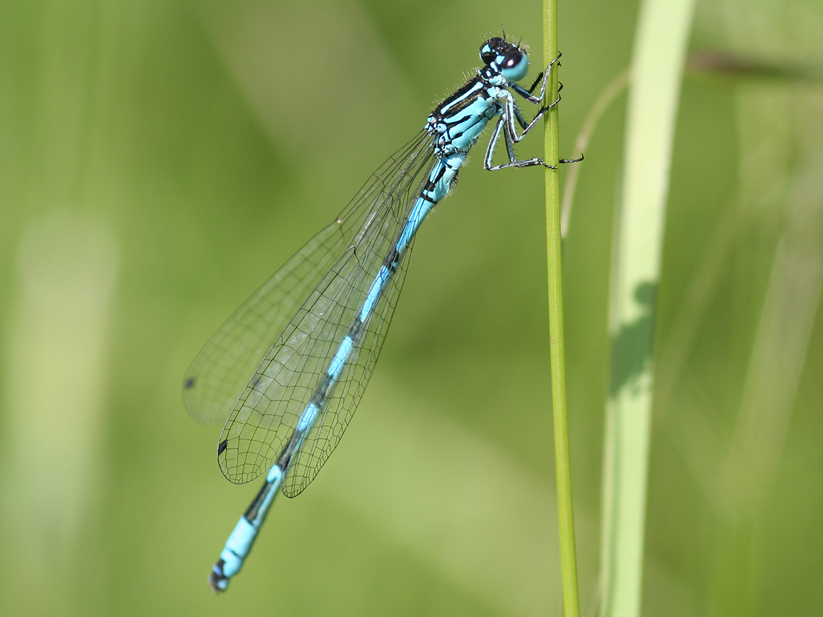 Coenagrion ornatum, male