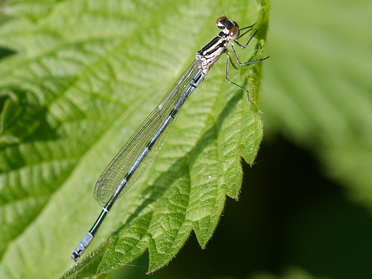 Coenagrion puella, immature male