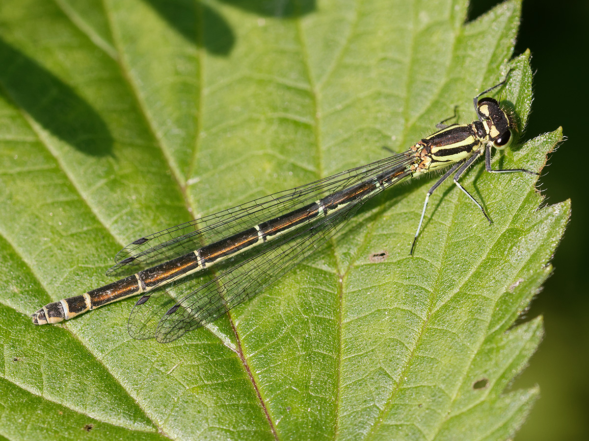Coenagrion puella, female