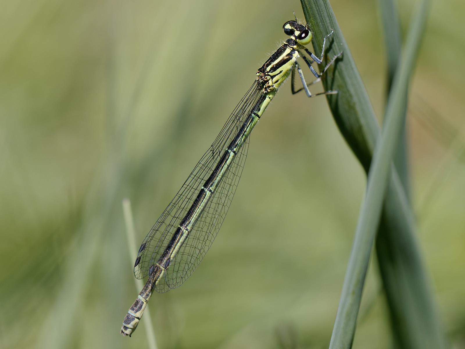 Coenagrion puella, female
