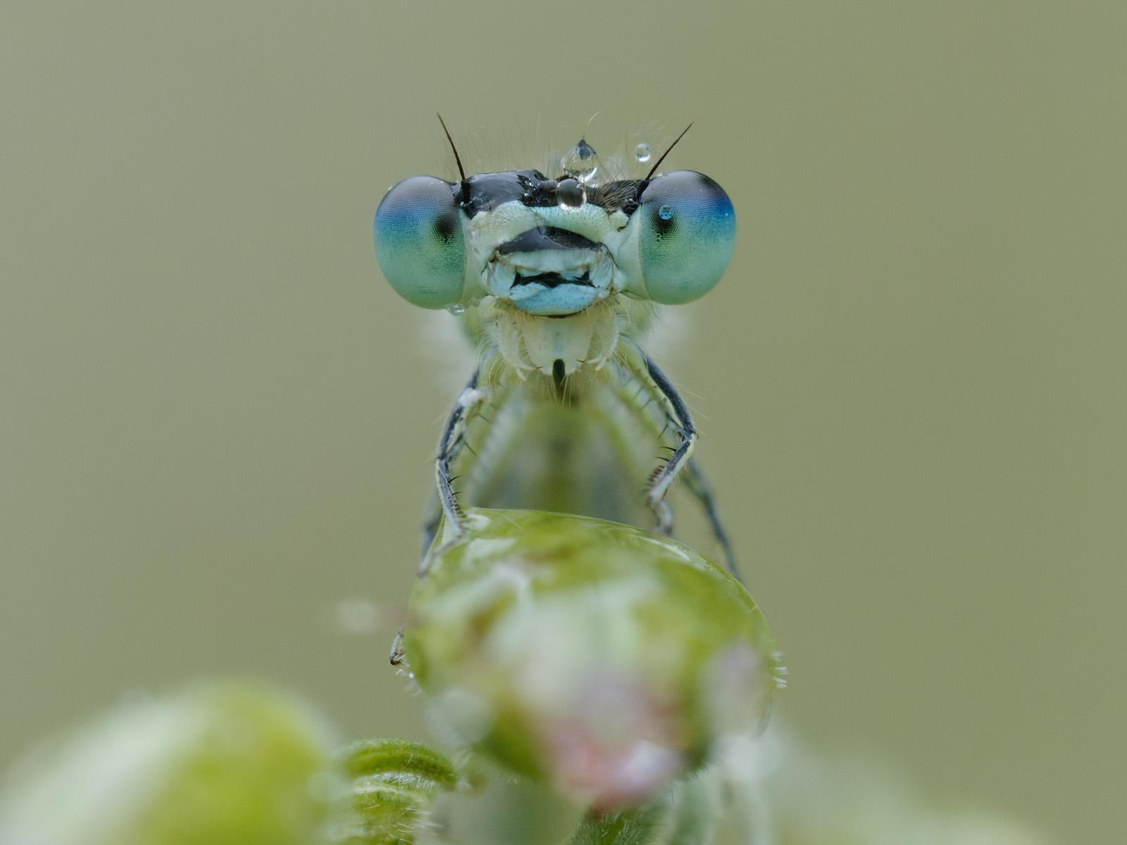 Coenagrion scitulum, male