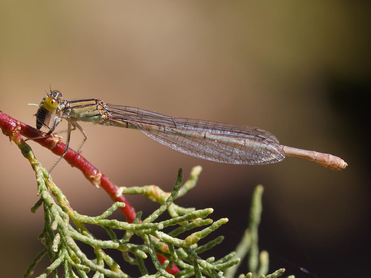 Erythromma lindenii, female