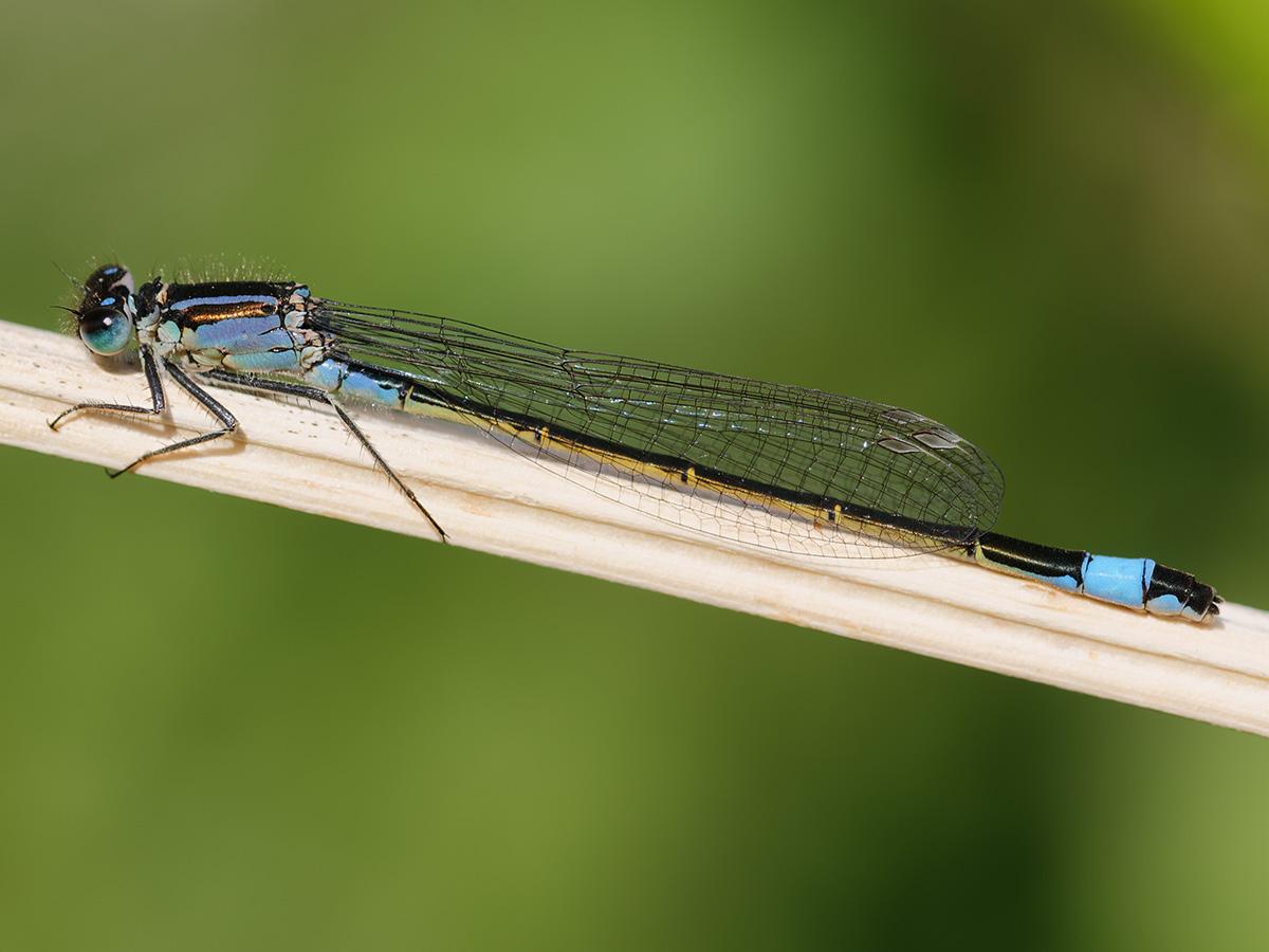 Ischnura elegans, female f. typica
