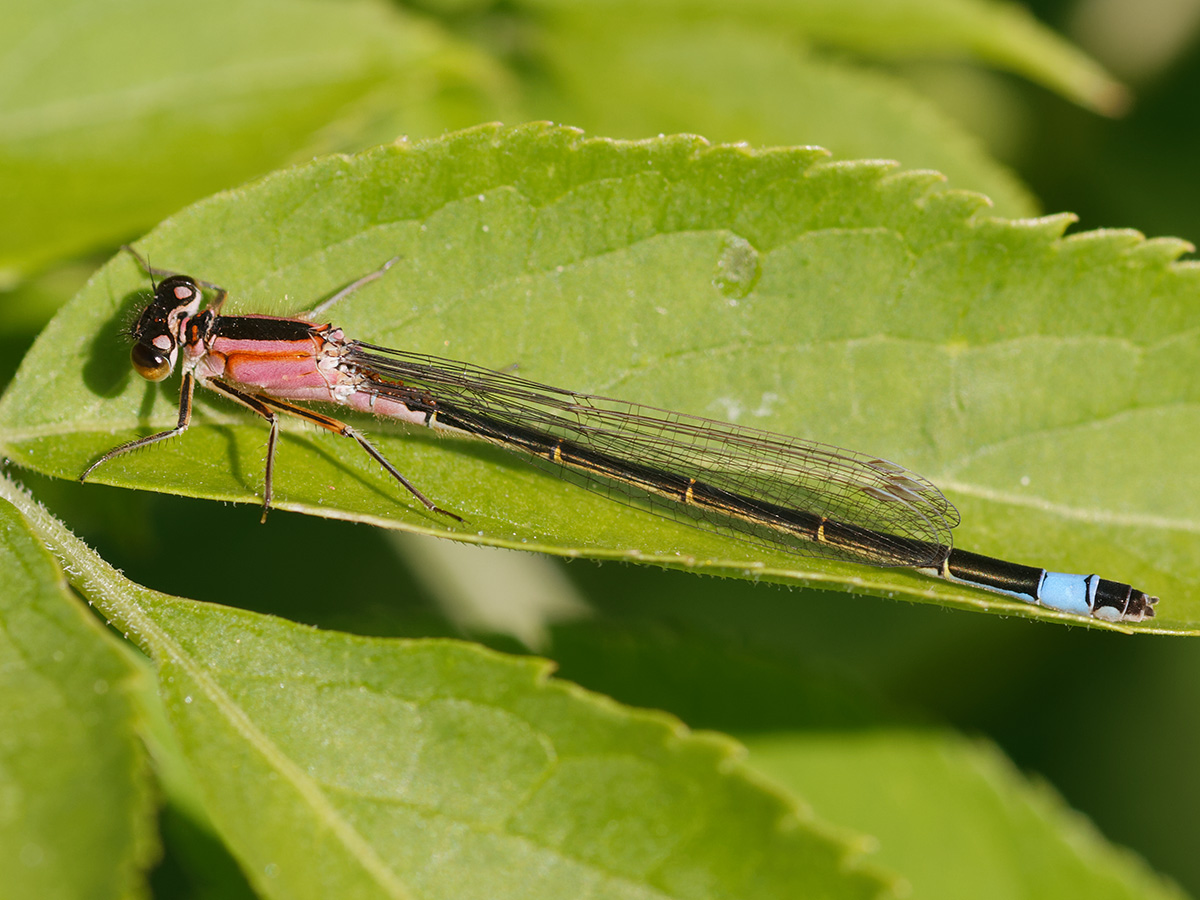 Ischnura elegans, female f. rufescens