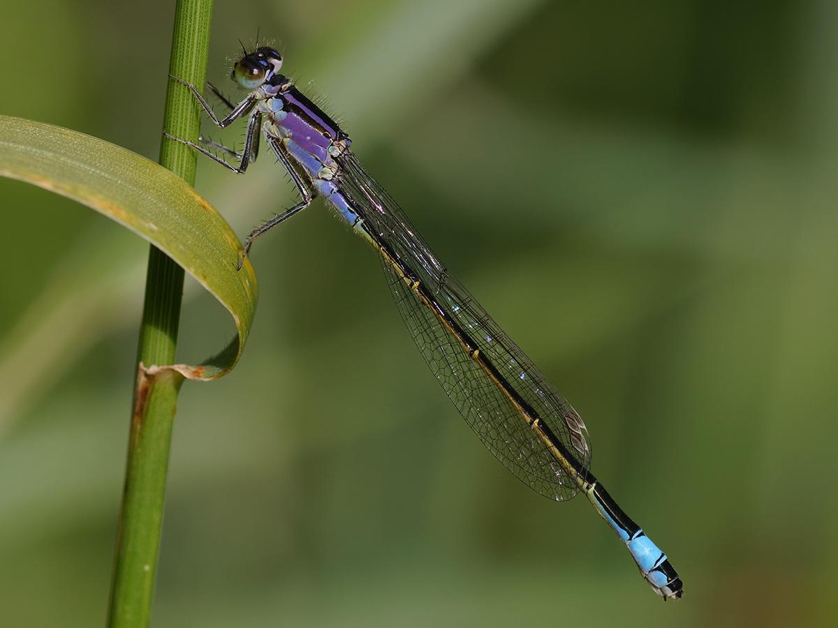 Ischnura elegans, female f. violacea