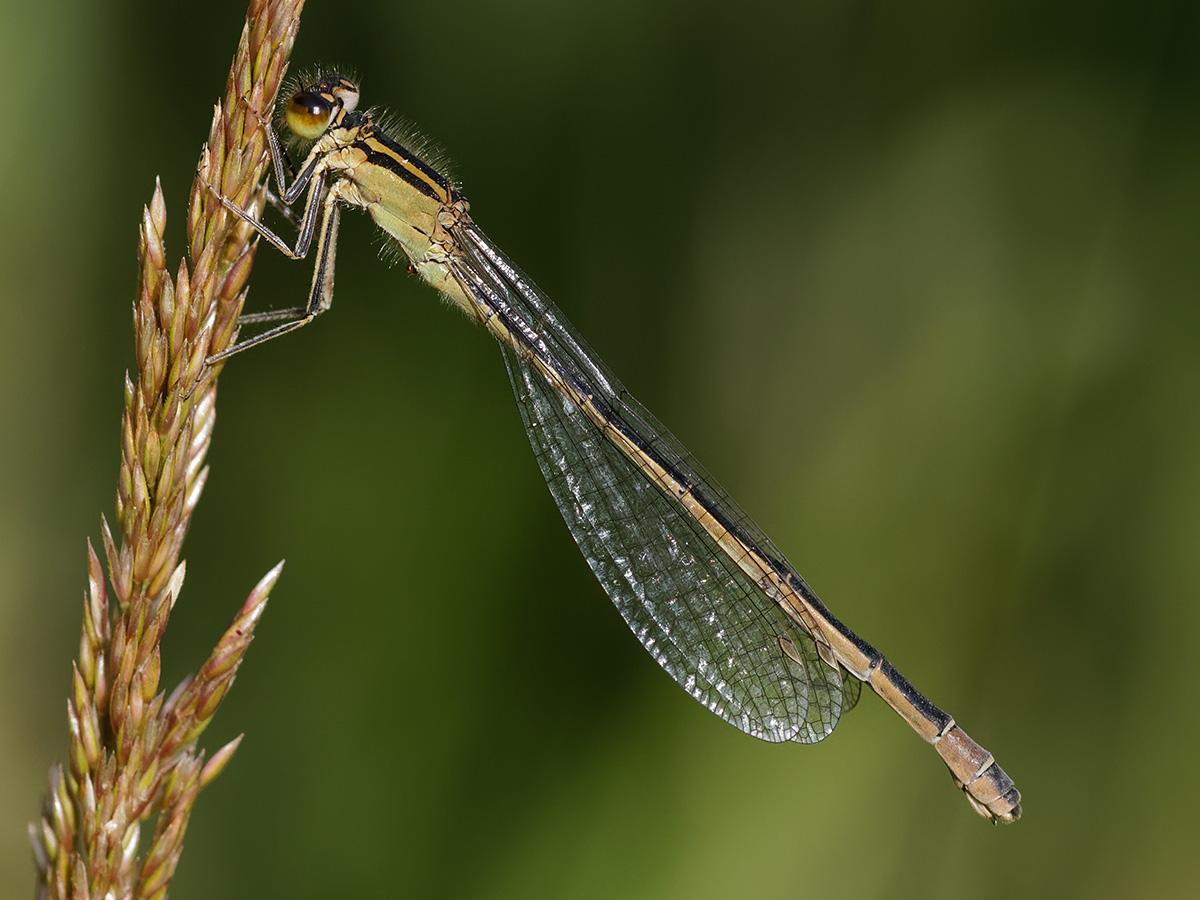 Ischnura elegans, female f. infuscans
