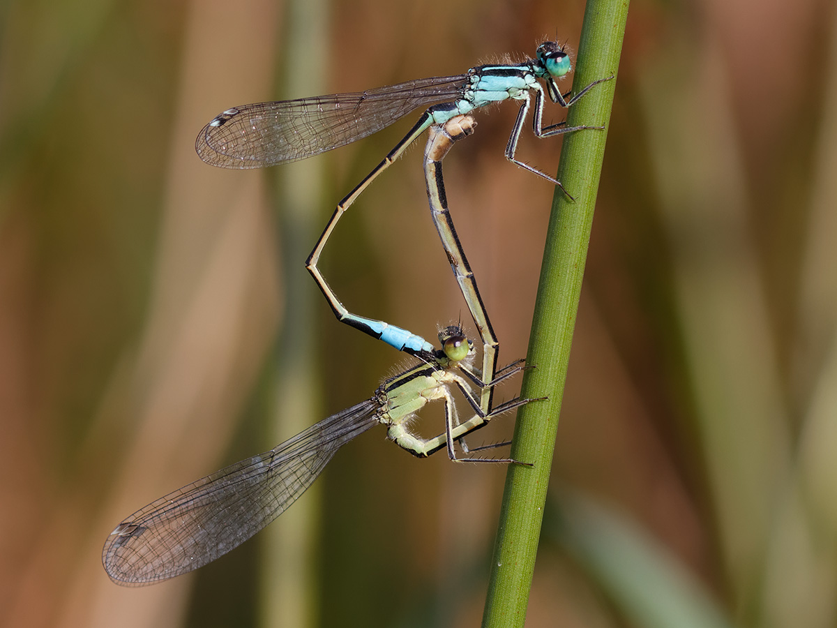 Ischnura elegans, copula