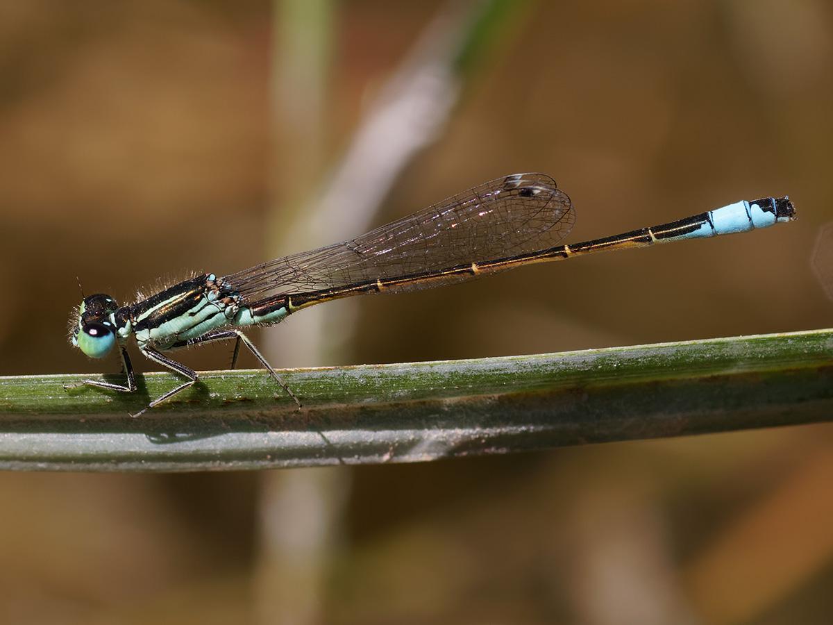 Ischnura graellsii, male