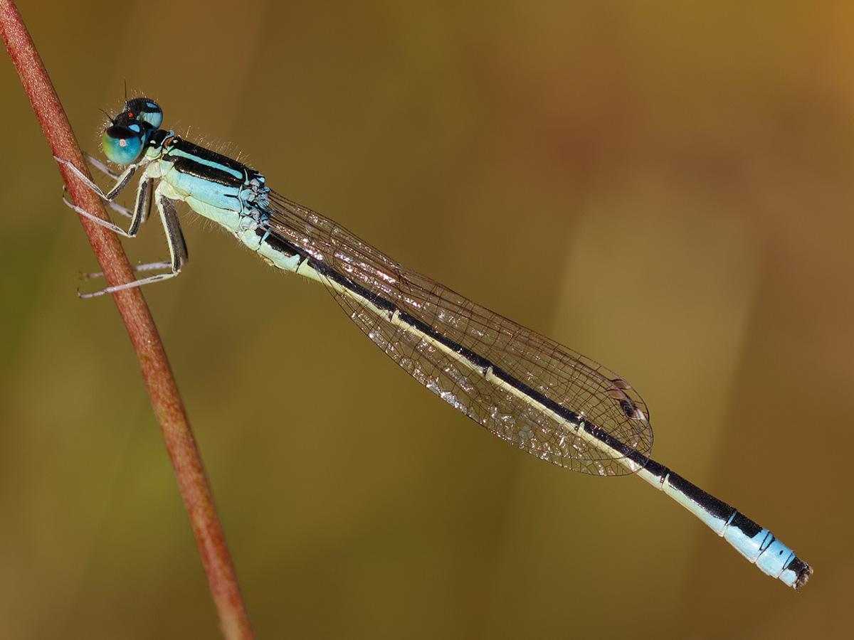 Ischnura pumilio - Small Bluetail