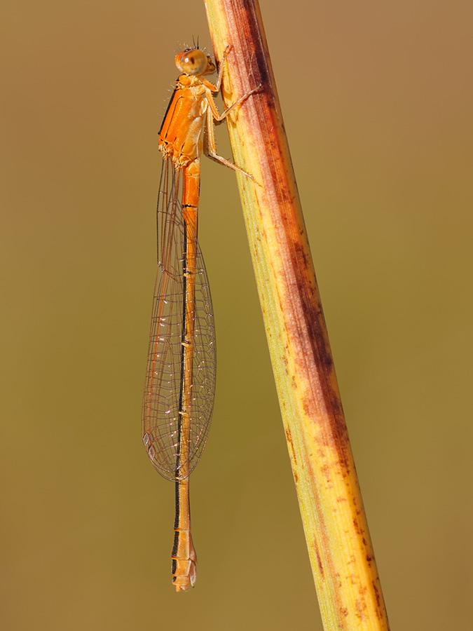 Ischnura pumilio, immature female f. aurantiaca