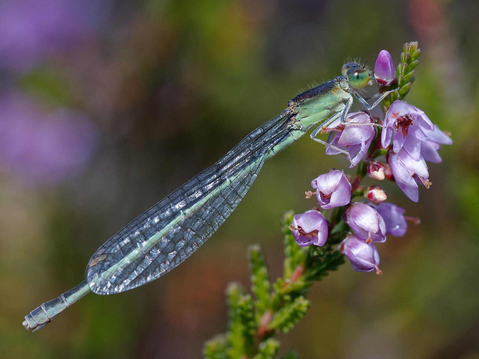 Ischnura pumilio, female