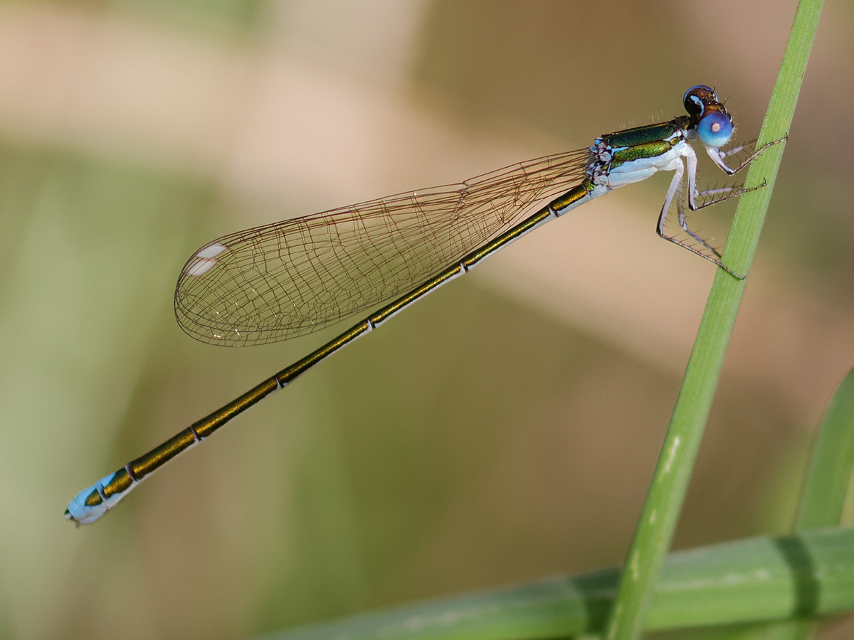 Nehalennia speciosa, female