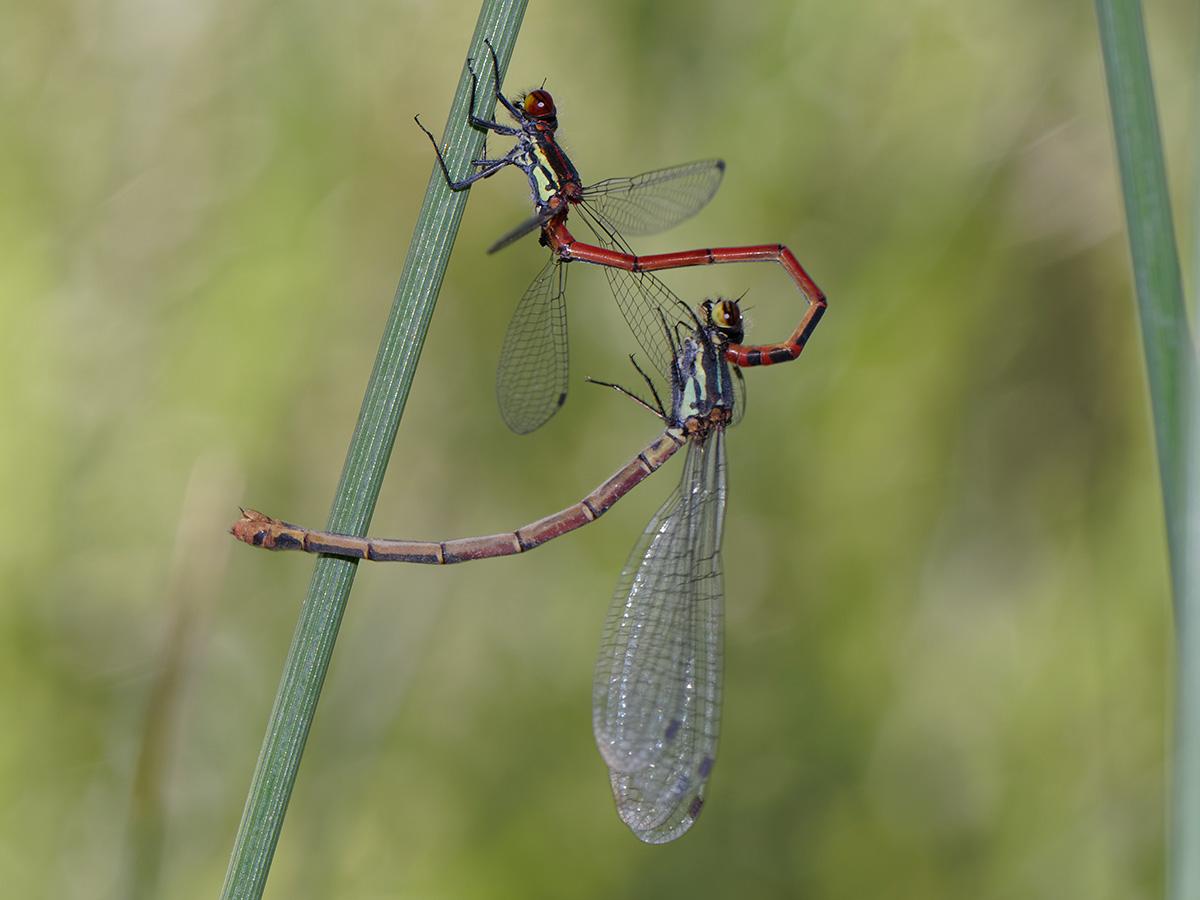 Pyrrhosoma elisabethae, tandem