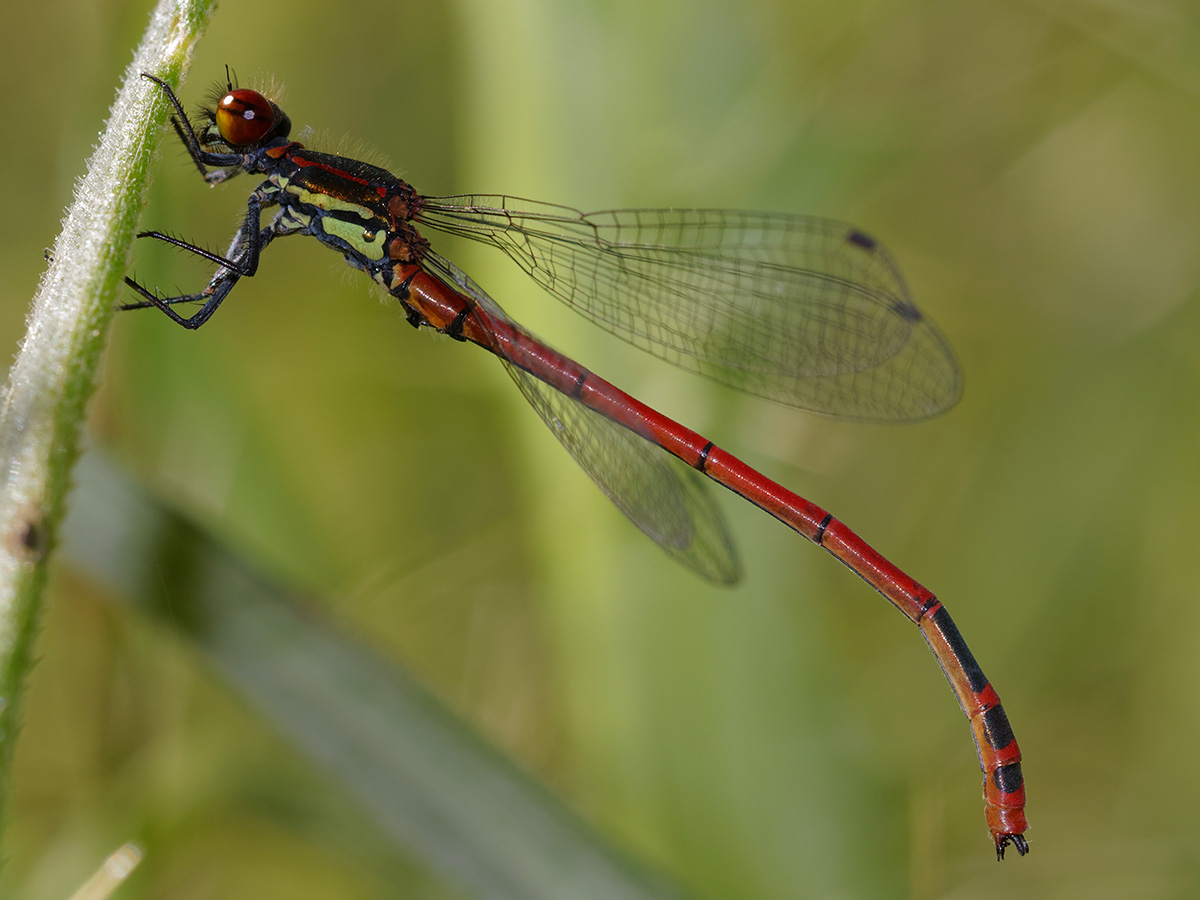 Pyrrhosoma elisabethae - Greek Red Damsel