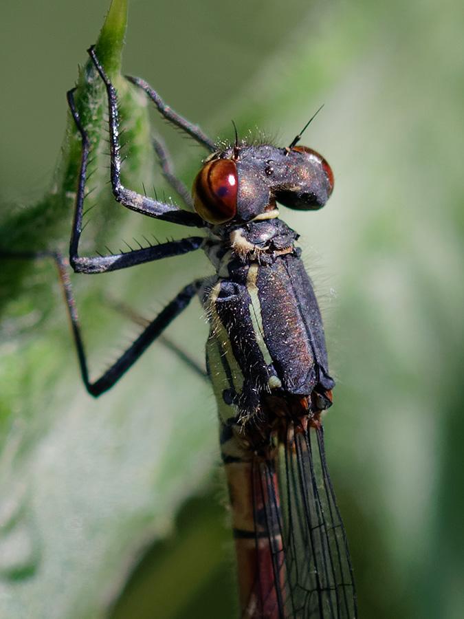 Pyrrhosoma elisabethae, female, detail