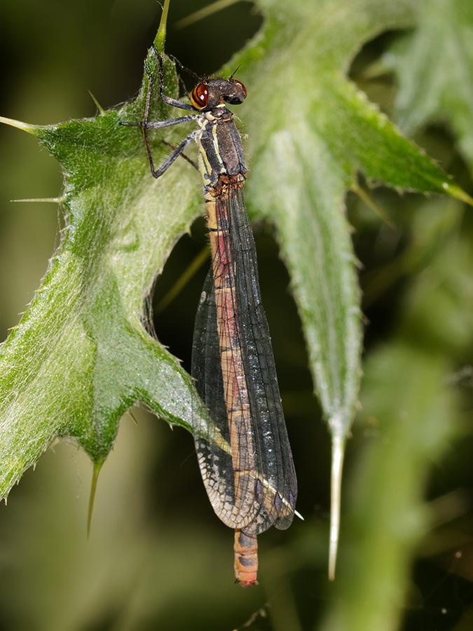 Pyrrhosoma elisabethae, female