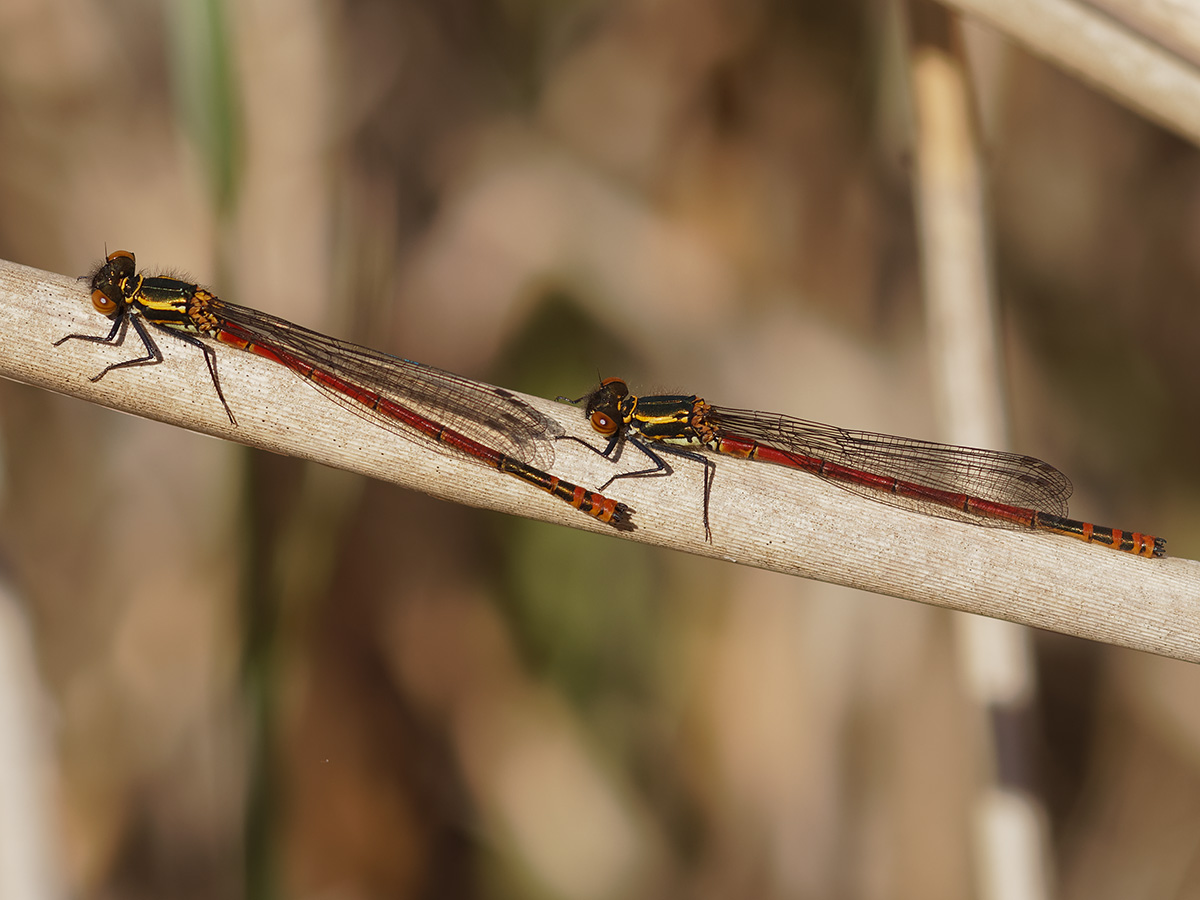 Pyrrhosoma nymphula, males