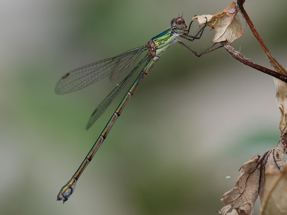 Chalcolestes parvidens , female
