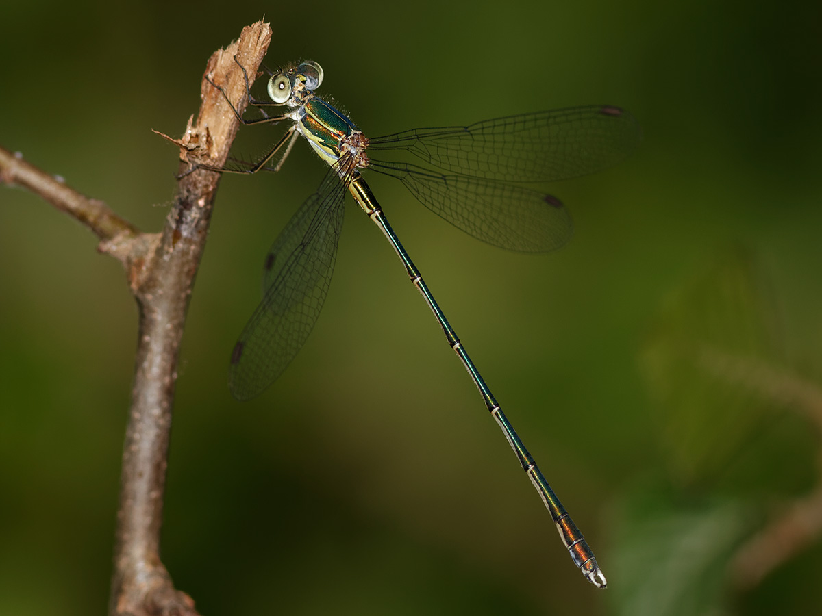 Chalcolestes parvidens - Eastern Willow Spreadwing