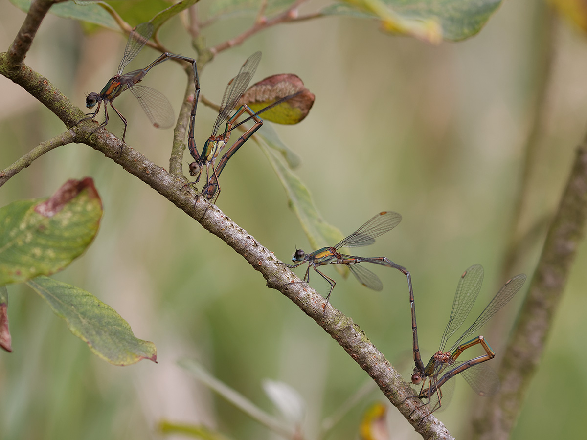 Chalcolestes viridis, ovipositing tandems