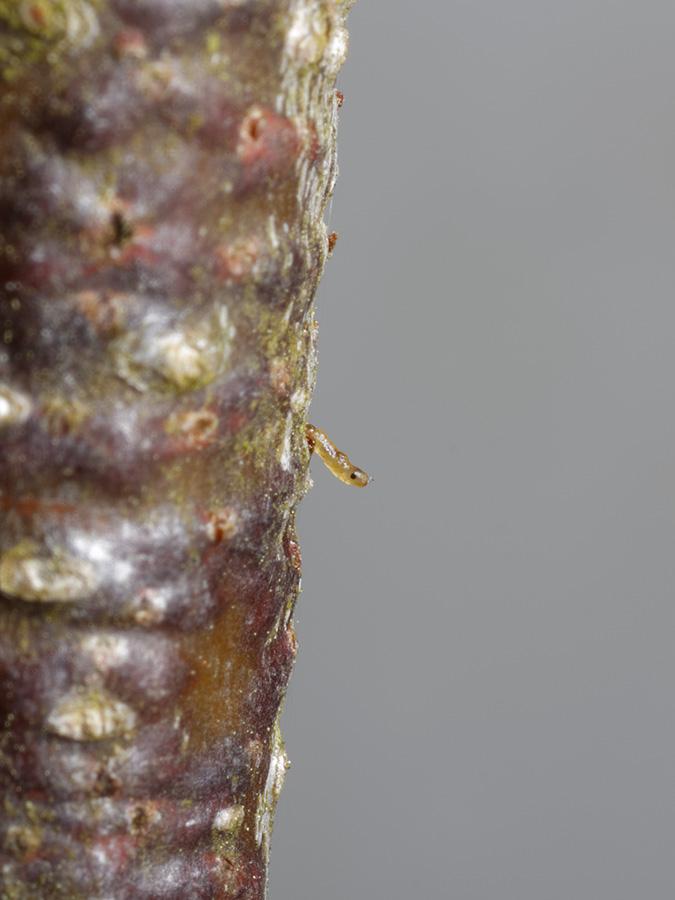 Chalcolestes viridis, prolarva