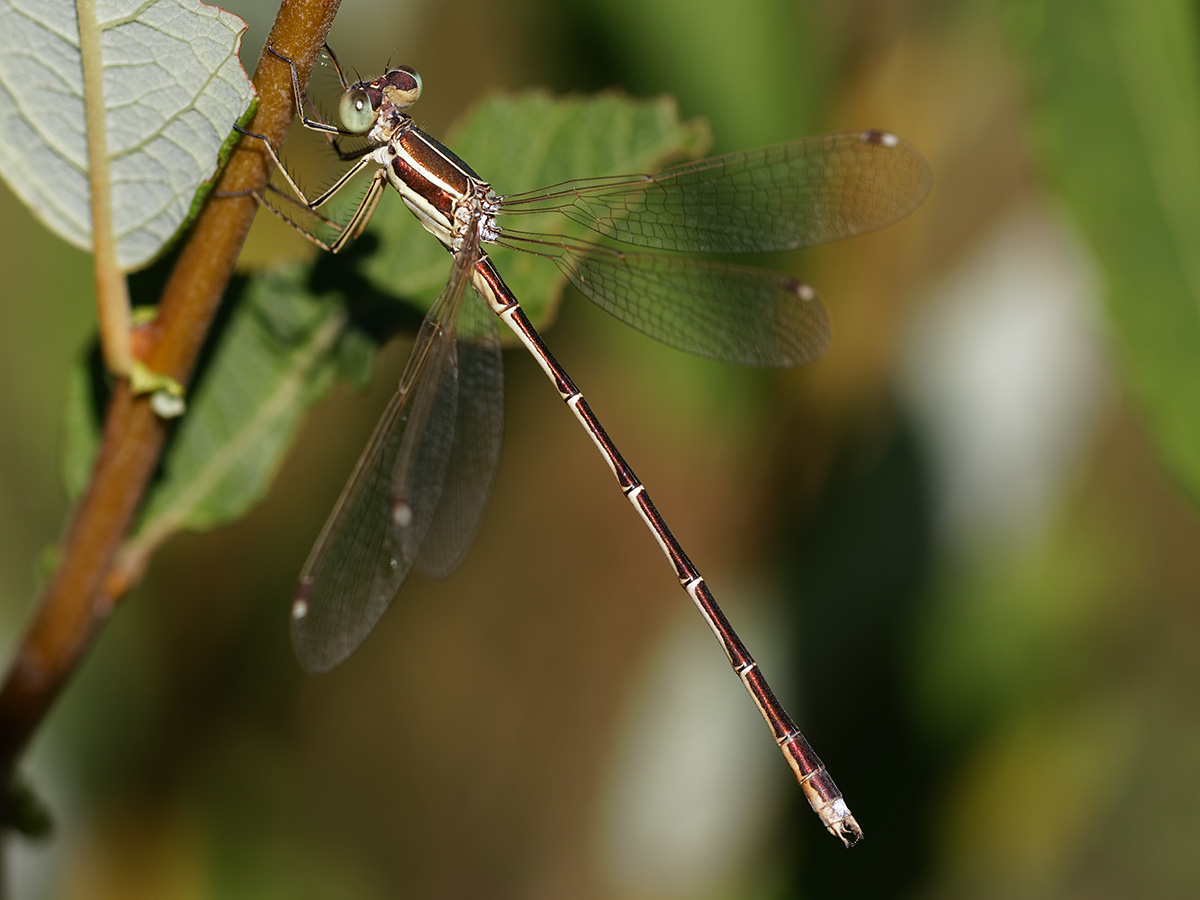 Lestes barbarus - Migrant Spreadwing