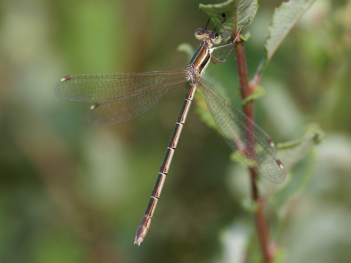 Lestes barbarus, female