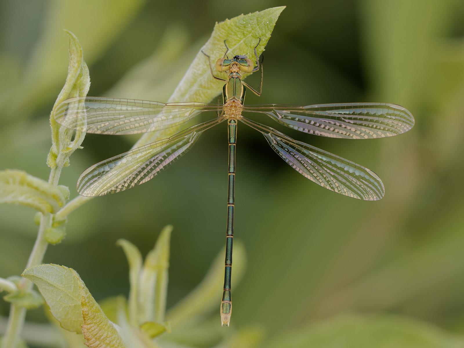 Lestes barbarus, teneral female