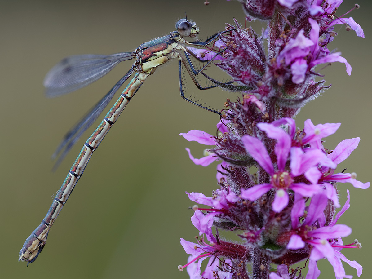 Lestes dryas, female