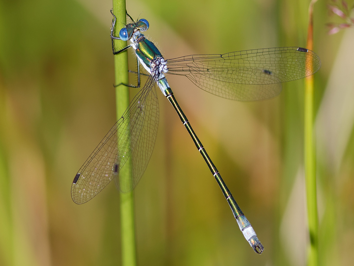 Lestes dryas - Robust Spreadwing
