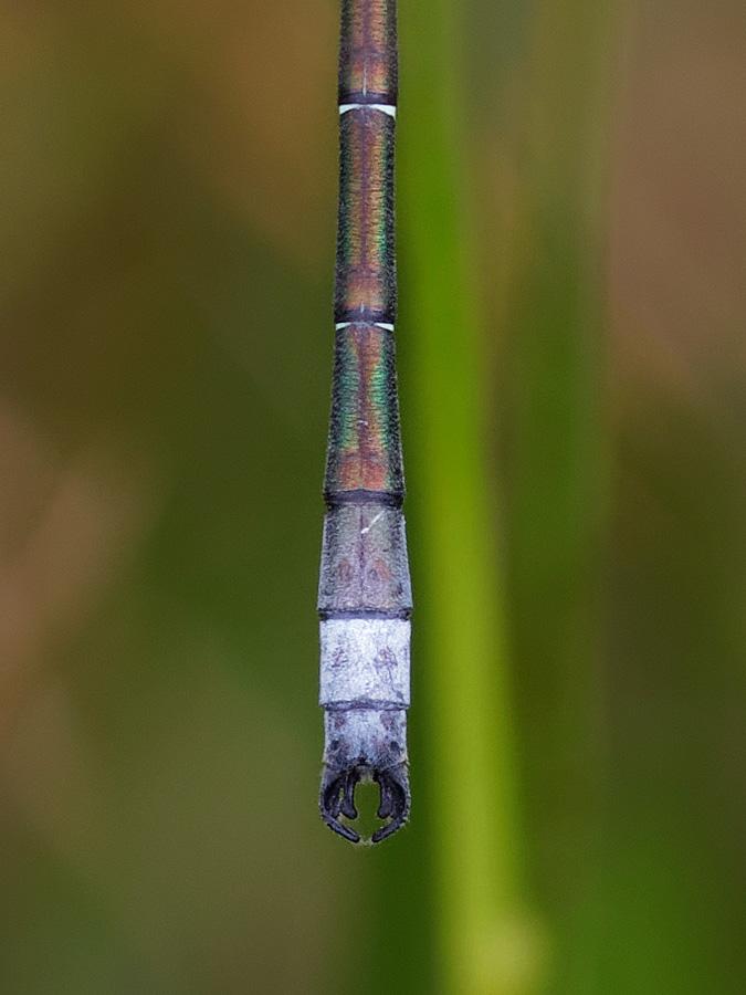 Lestes dryas, male appendages