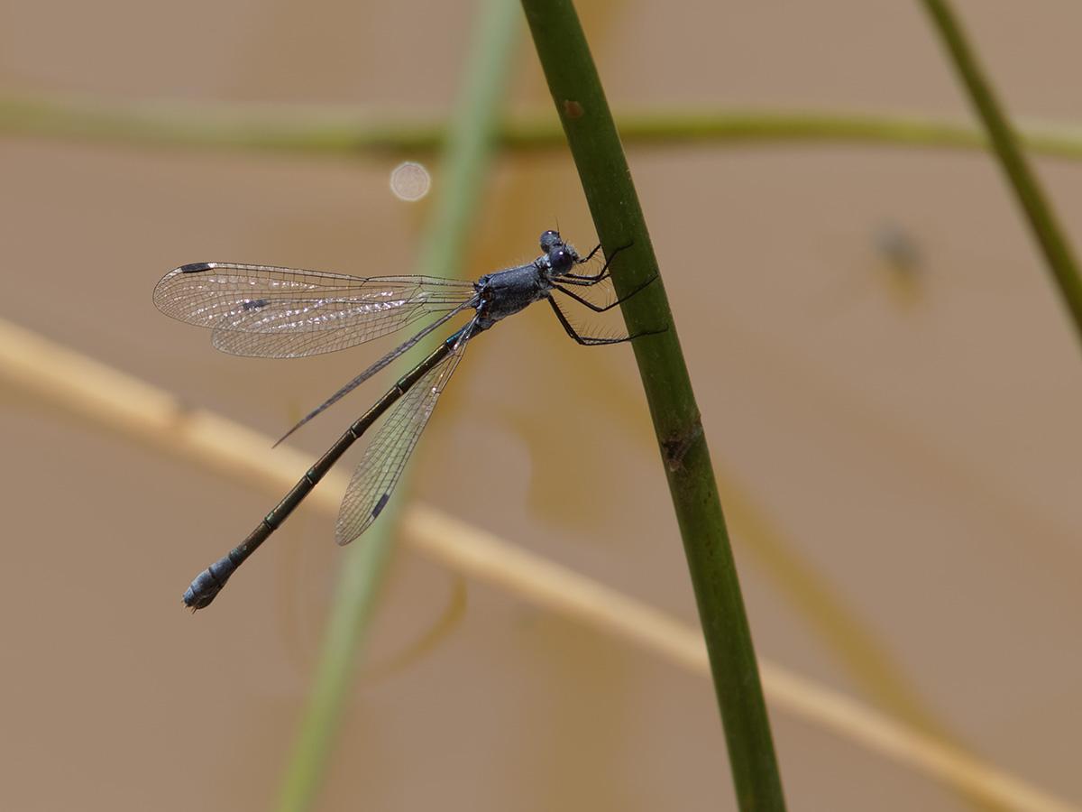 Lestes macrostigma, female