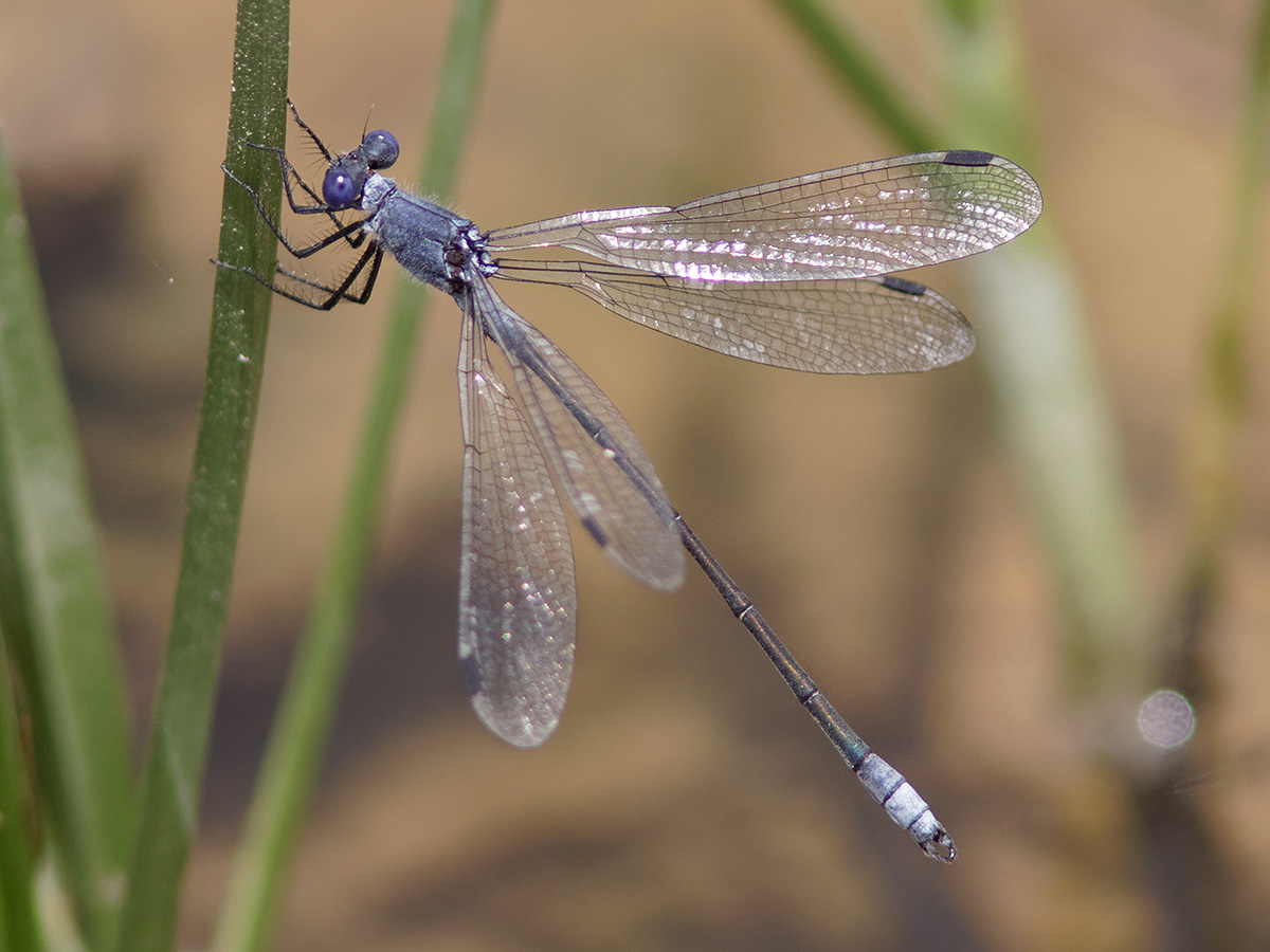 Lestes Macrostigma - Dark Spreadwing