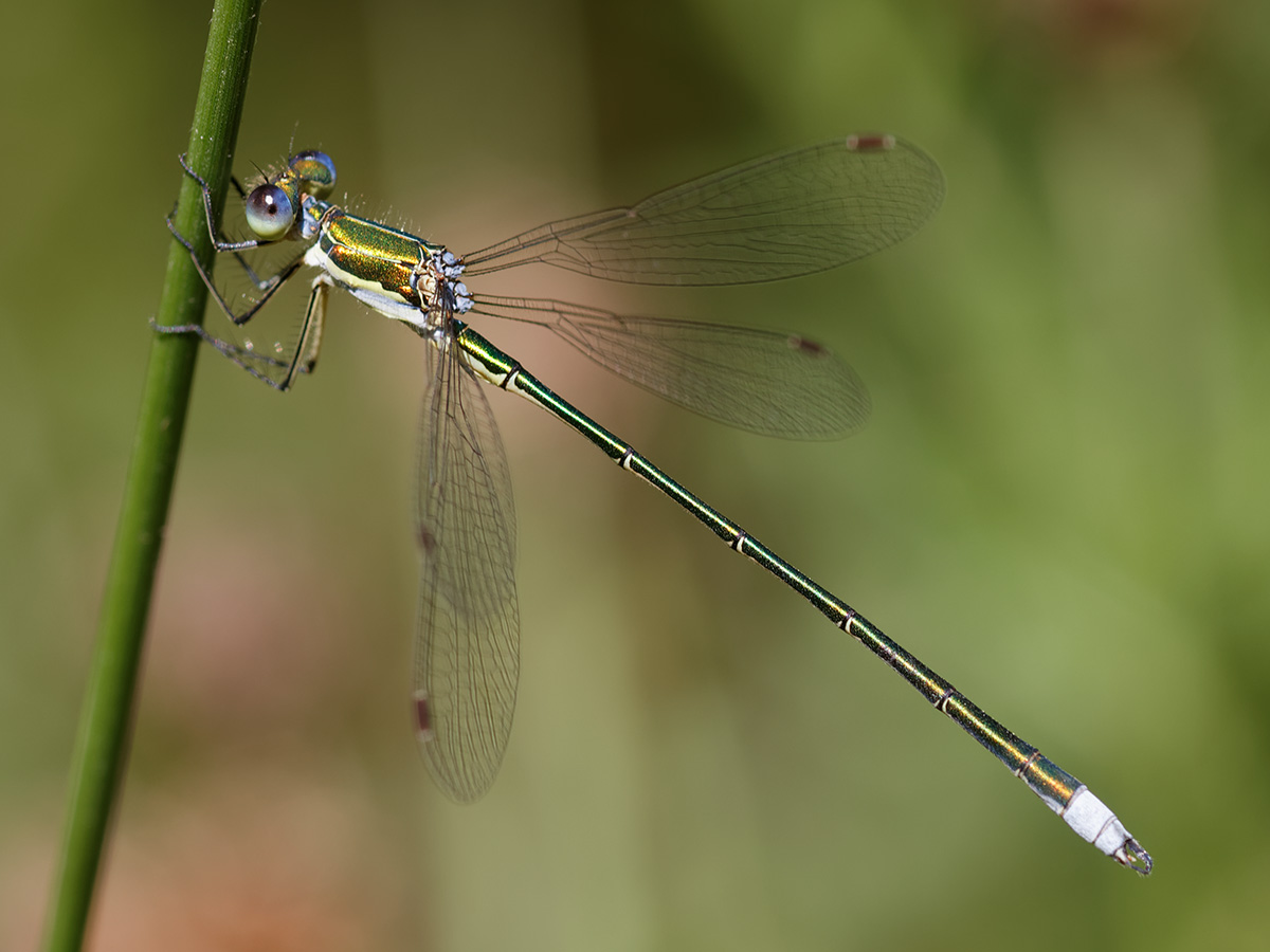 Lestes virens - Small Spreadwing