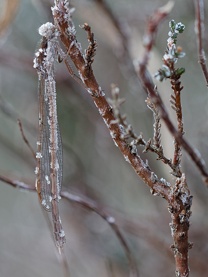 Sympecma fusca, female, hibernating at -7°C