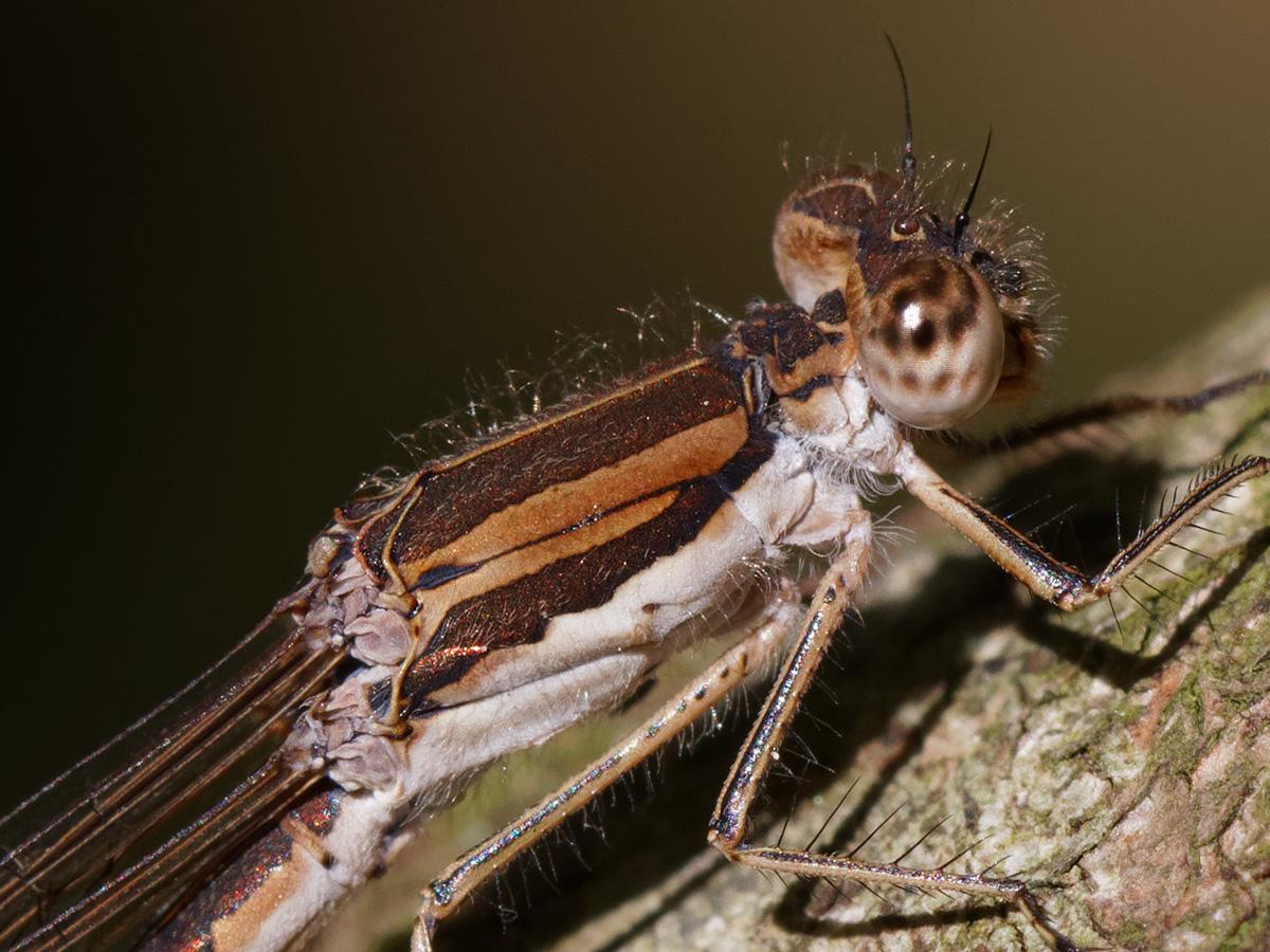 Sympecma fusca, female
