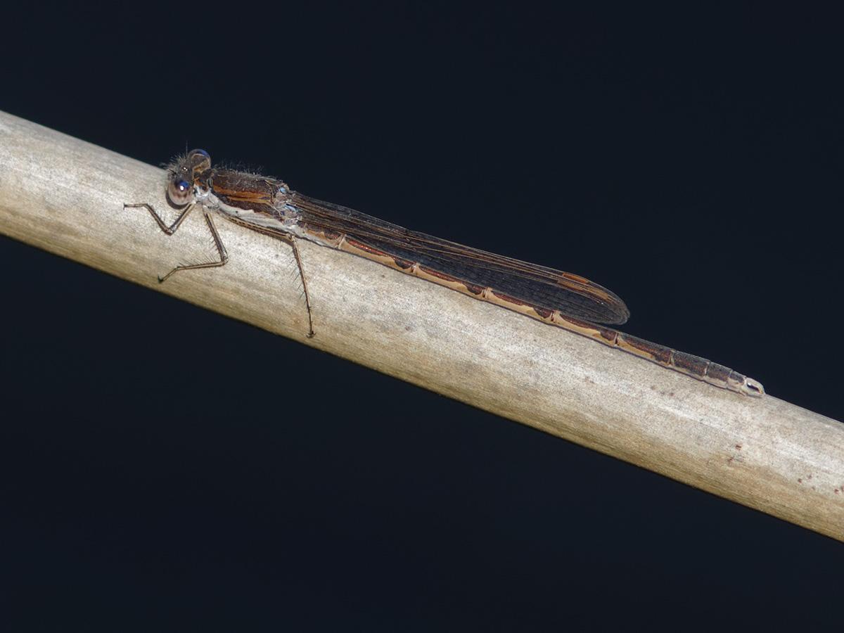 Sympecma fusca, male with blue eyes