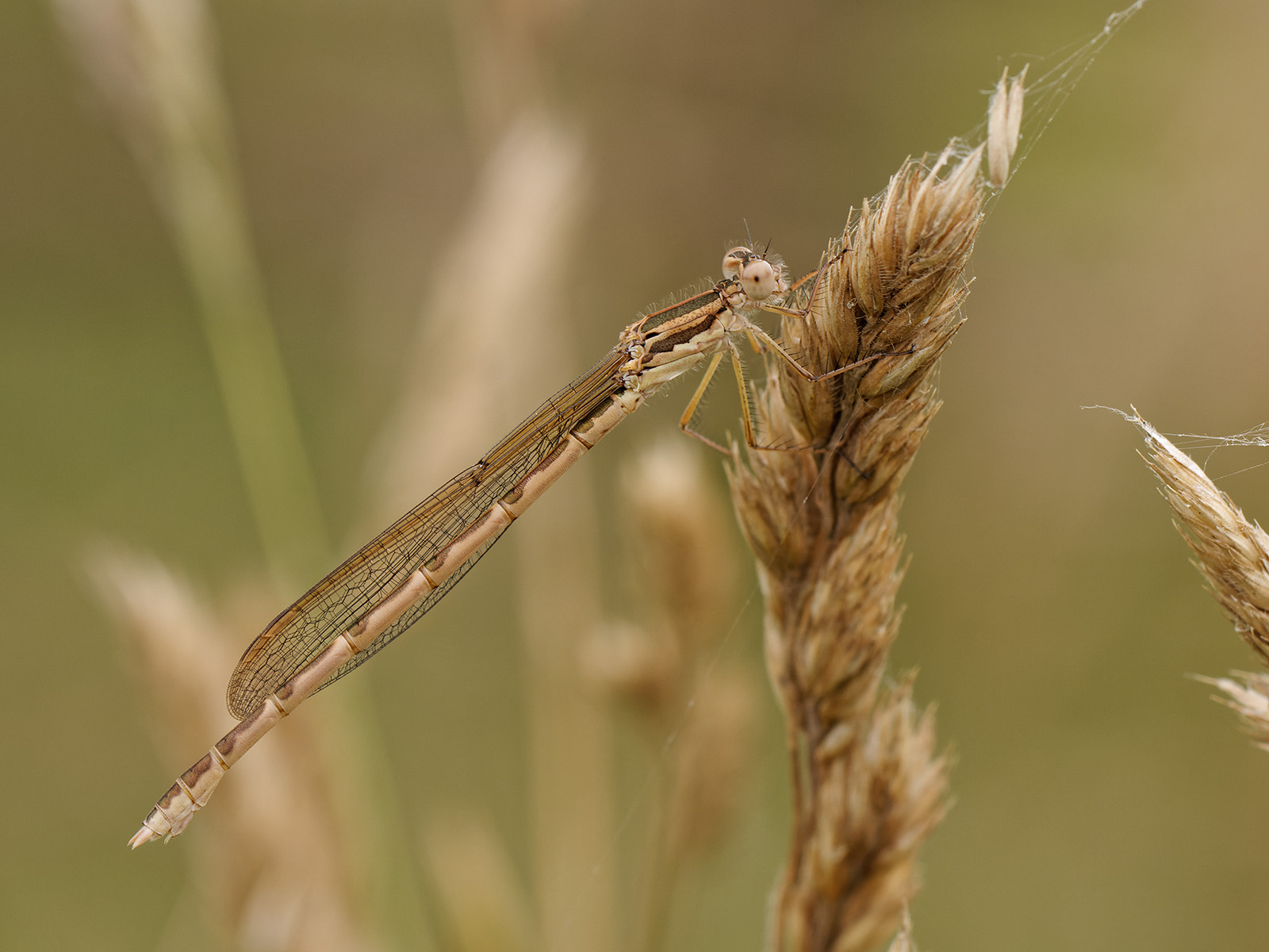 Sympecma fusca, immature female