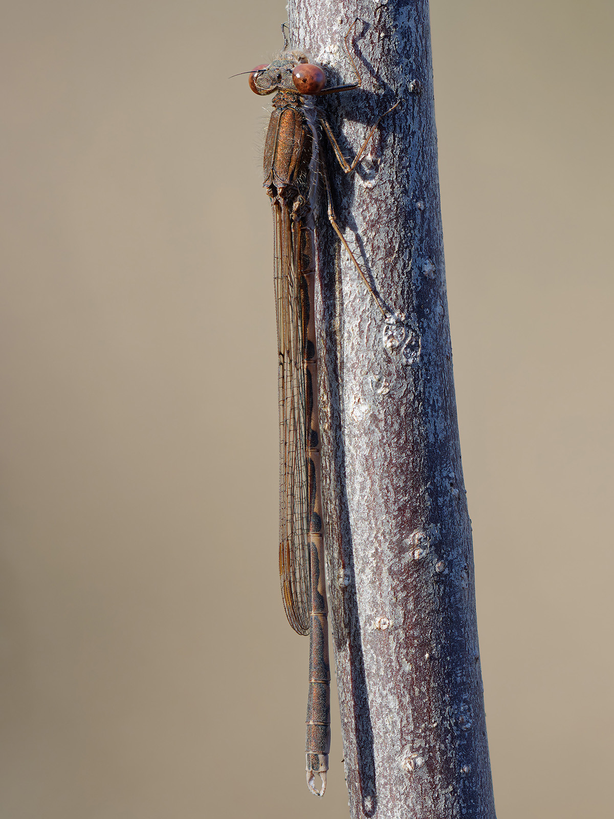 Sympecma fusca, male died during hibernation